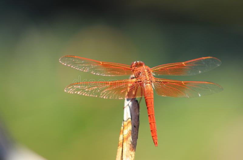 Закройте вверх оранжевого DragonFly стоковые изображения rf