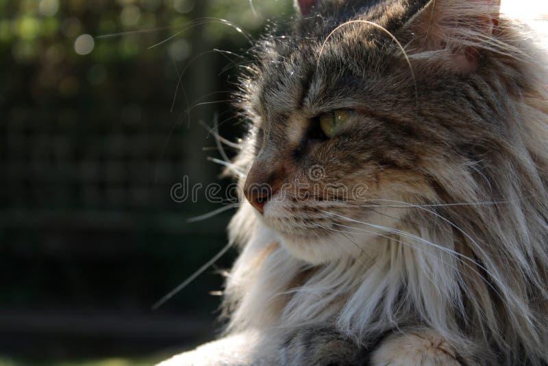 Закройте вверх отдыхать кота енота Мейна стоковое изображение rf
