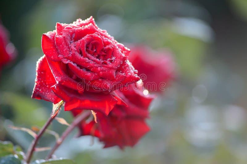 Закройте вверх падений лепестка и воды красной розы Макрос снятый красного цвета стоковое фото