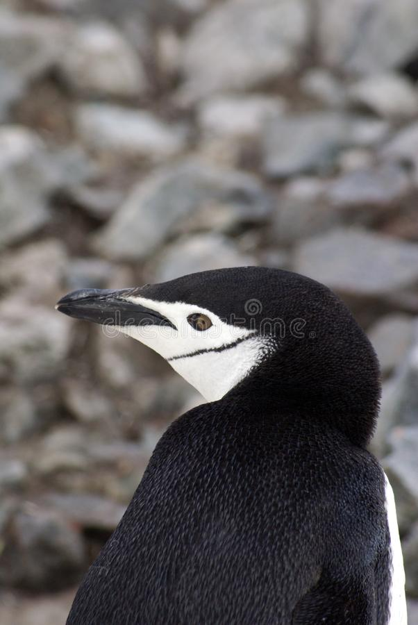 Закройте вверх пингвина chinstrap в Антарктике стоковое фото