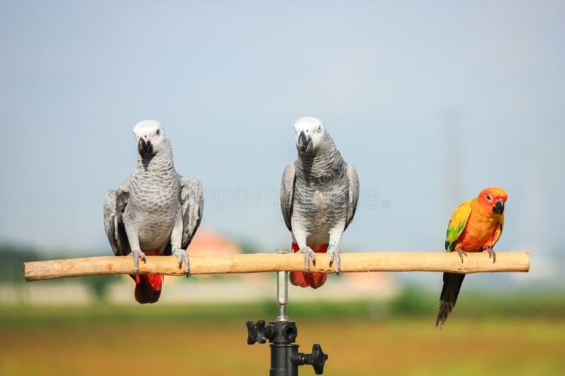 Закройте вверх попугая африканского серого цвета стоковые фотографии rf