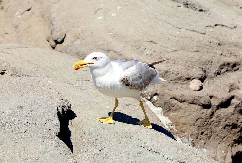 Закройте вверх по белым чайкам на утесах. стоковые фотографии rf