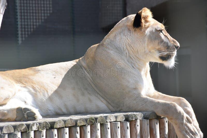 Закройте вверх по бортовому портрету женской африканской львицы стоковые изображения rf