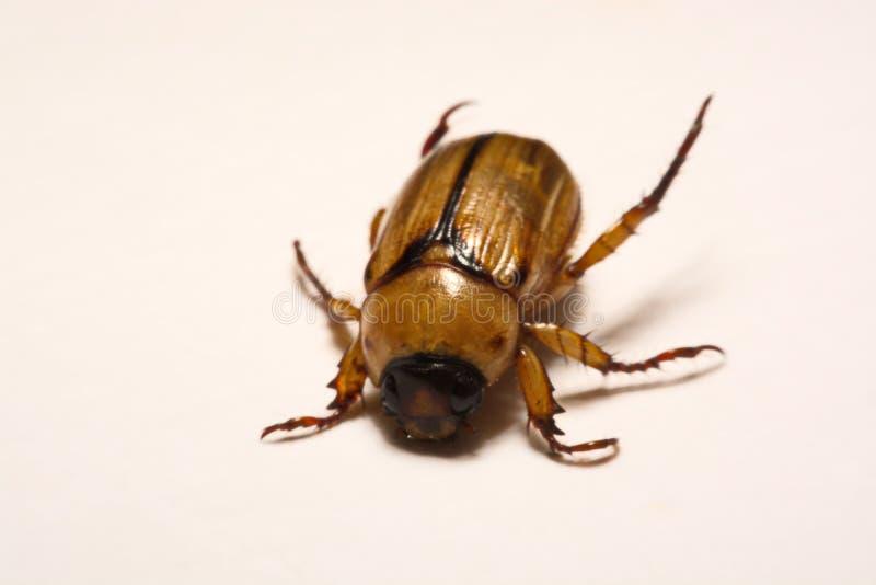 Закройте вверх по взгляду бича жука - общему melolontha майского жука также известному как черепашка или Doodlebug в мае на клено стоковое изображение