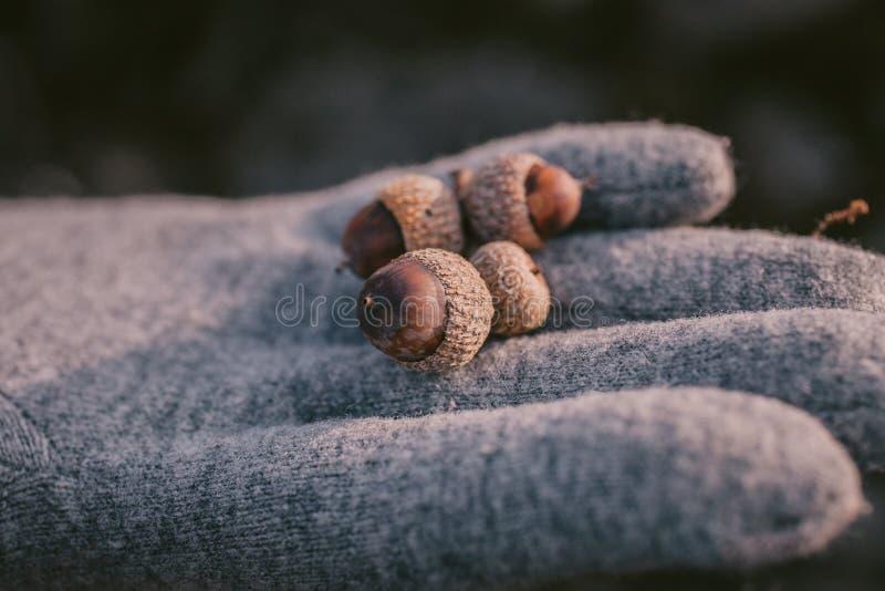 Закройте вверх по взгляду жолудя в руке как предпосылка Пригорошня жолудей с селективным фокусом стоковое фото