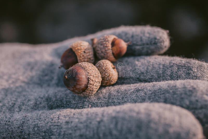 Закройте вверх по взгляду жолудя в руке как предпосылка Пригорошня жолудей с селективным фокусом стоковое фото rf