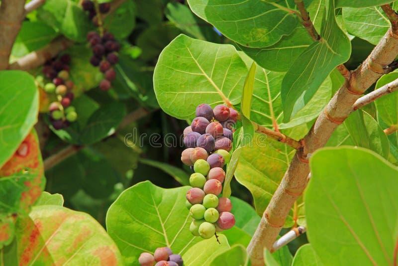 Закройте вверх по взгляду зрея группы виноградины моря стоковая фотография rf