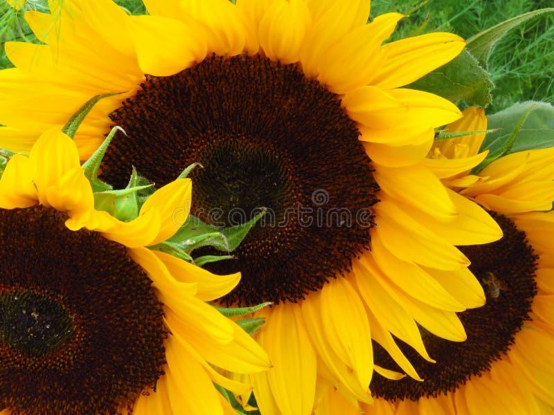Закройте вверх по взгляду красивых солнцецветов желтый цвет солнцецвета солнца поздним летом цветка центра поля пчелы яркий Желто стоковые изображения