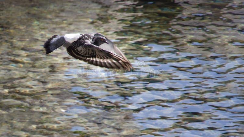 Закройте вверх по взгляду одного серого голубя летая свободно над морем стоковая фотография