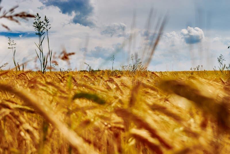 Закройте вверх по взгляду ушей золотого пшеничного поля и голубого неба с облаками стоковое фото