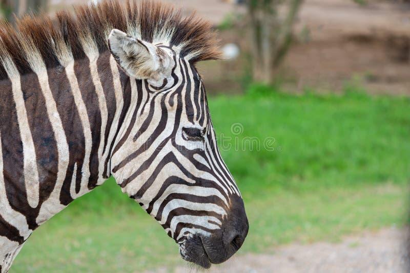 Закройте вверх по голове ` s зебры стоковое изображение rf
