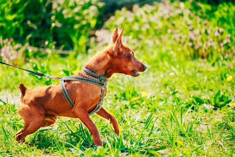 Download Закройте вверх по голове миниатюрного Pinscher собаки Брайна Стоковое Изображение - изображение насчитывающей напольно, разведенными: 40591815