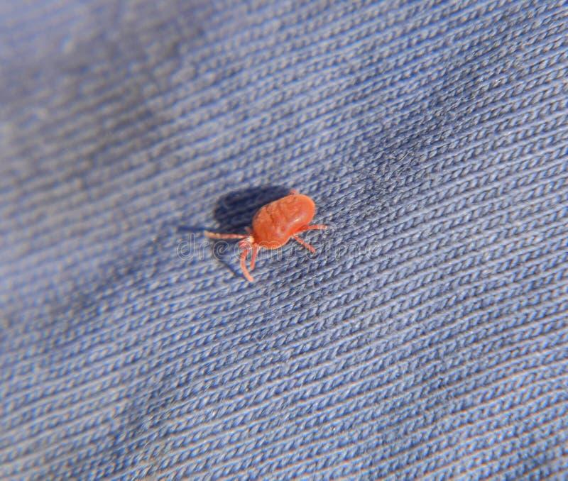Закройте вверх по лепте бархата макроса красным или Trombidiidae, красной лепте бархата стоковые фото