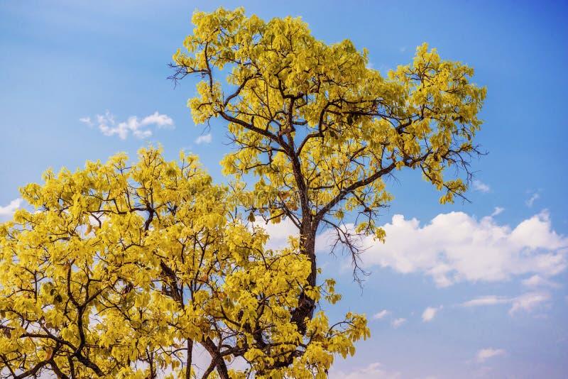 Закройте вверх по желтому дереву с голубым небом стоковая фотография