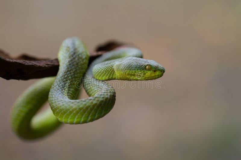 Закройте вверх по Желт-lipped зеленой змейке гадюки ямы стоковая фотография