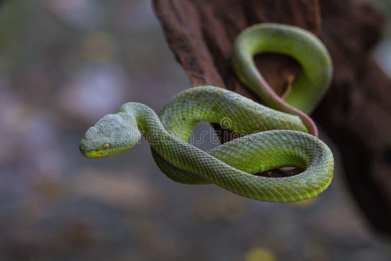 Закройте вверх по Желт-lipped зеленой змейке гадюки ямы стоковое фото rf