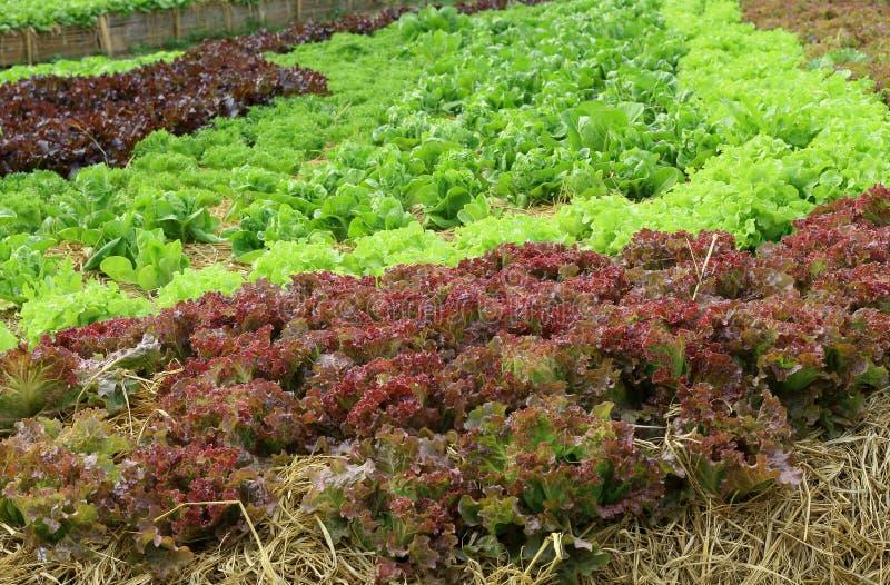 Закройте вверх по заводам салата растя в саде, свежем зеленом и красном hydroponic овоще стоковая фотография