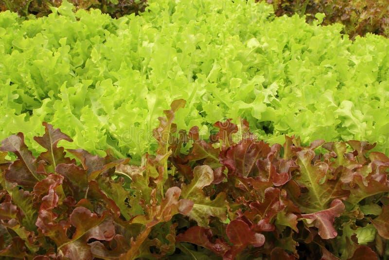 Закройте вверх по заводам салата растя в саде, свежем красном и зеленом hydroponic овоще стоковые фотографии rf
