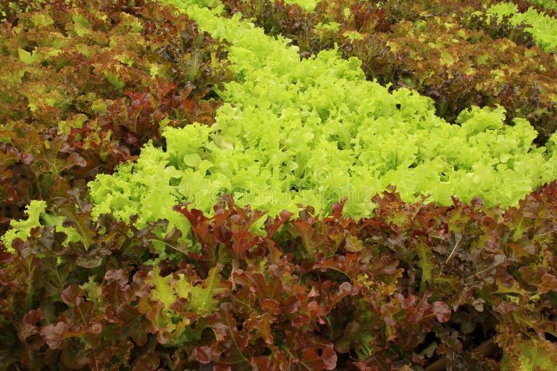 Закройте вверх по заводам салата растя в саде, свежем красном и зеленом hydroponic овоще стоковое фото