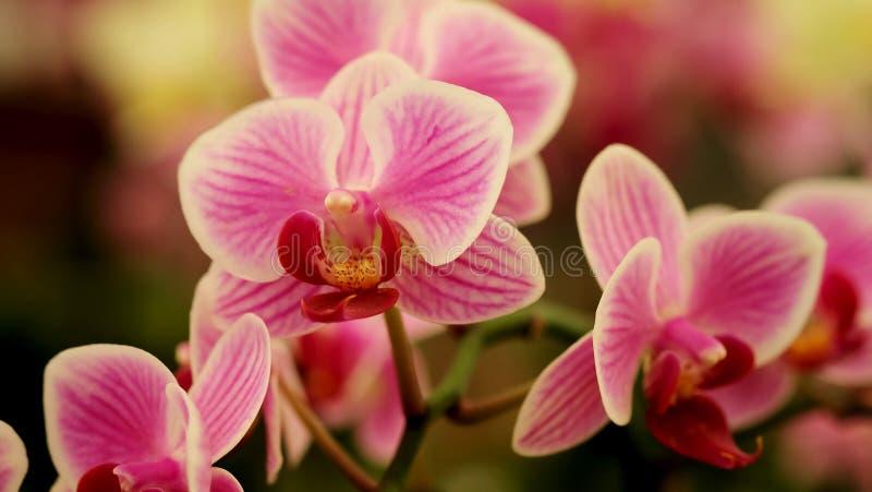 Закройте вверх по зацветая красивой мини розовой орхидее ` фаленопсиса ` в красочном цветочном саде стоковая фотография rf