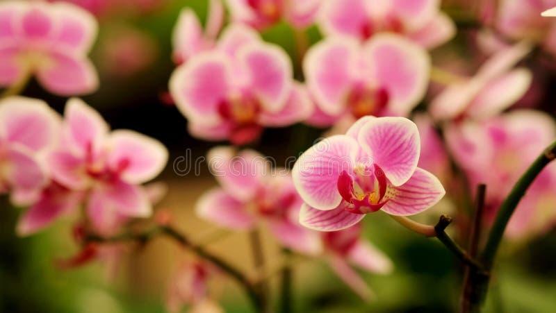 Закройте вверх по зацветая красивой мини розовой орхидее ` фаленопсиса ` в красочном цветочном саде стоковые изображения rf