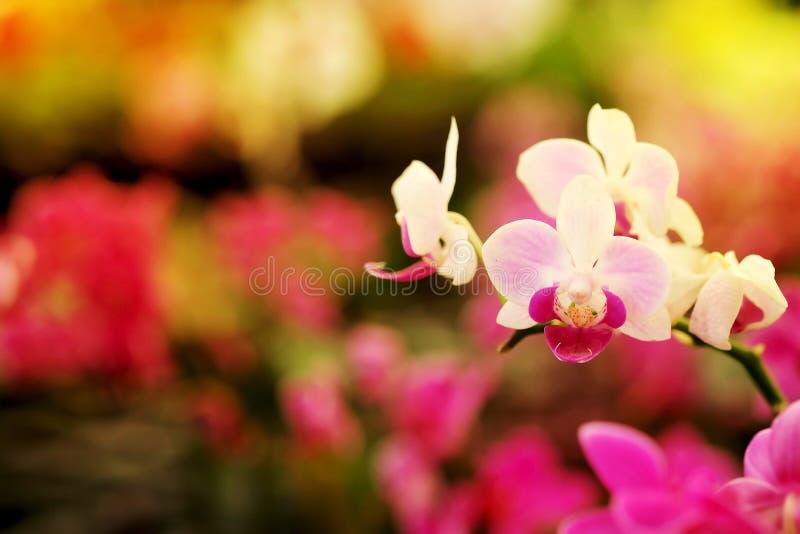 Закройте вверх по зацветая красивой мини розовой орхидее ` фаленопсиса ` в красочном цветочном саде стоковая фотография