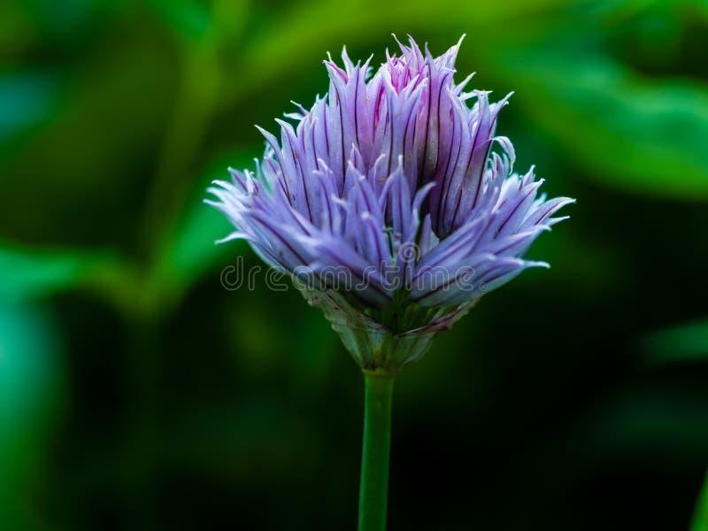 Закройте вверх по зацветая свежим пурпурным chives зацветите на темной ой-зелен предпосылке стоковая фотография rf