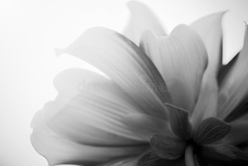 Закройте вверх по задней части макроса черно-белой цветка стоковое изображение