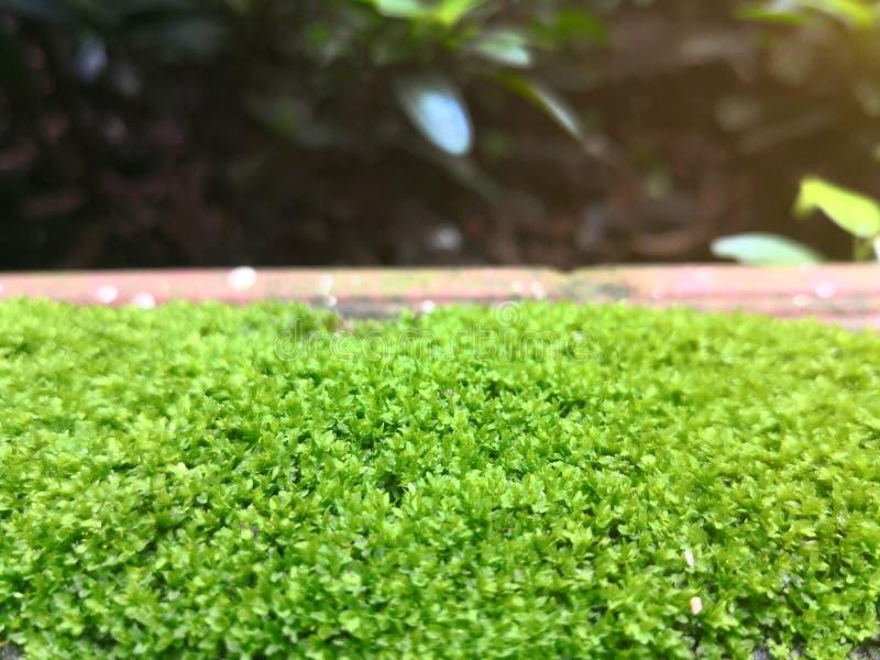 Закройте вверх по зеленой предпосылке текстуры мха растя на поле кирпича S стоковые фотографии rf