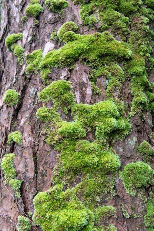 Закройте вверх по зеленому мху на сосне стоковое фото