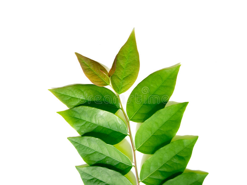 Закройте вверх по зеленым листьям крыжовника звезды изолированным на белом backgroun стоковые фотографии rf