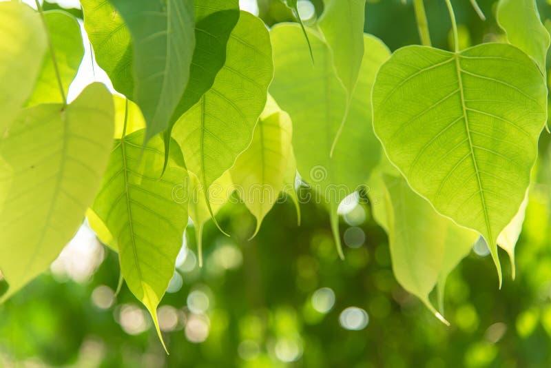 Закройте вверх по зеленым лист Bodhi на стиле природы дерева свежем стоковое фото rf
