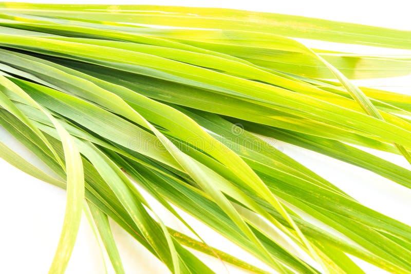 Закройте вверх по зеленым свежим лист лимонного сорга изолированным на белизне стоковое изображение