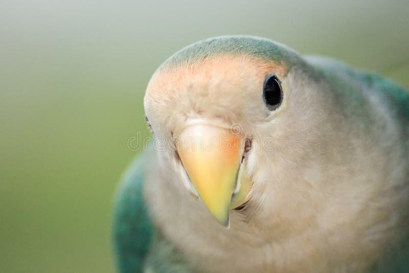 Закройте вверх по зеленому попугаю стоковое изображение rf