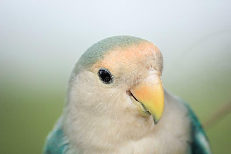 Закройте вверх по зеленому попугаю стоковое изображение