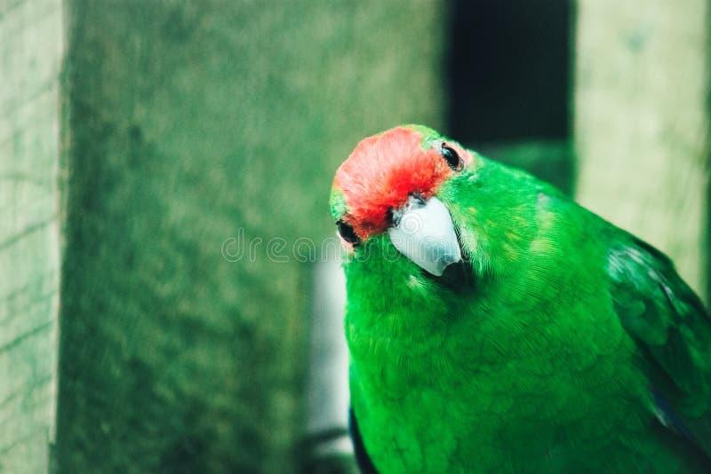 Закройте вверх по изображению длиннохвостого попугая Красно-увенчанного Новой Зеландией стоковые изображения