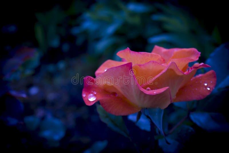 Закройте вверх по изображению одиночной розы апельсина стоковые фотографии rf