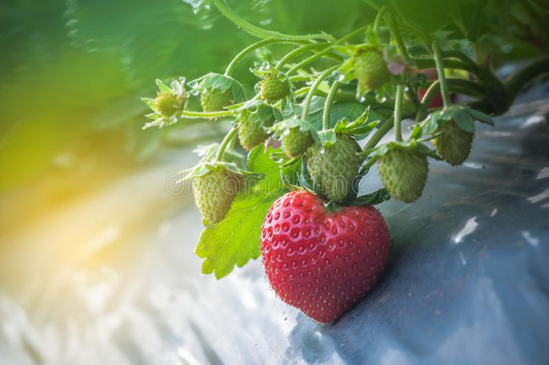 Закройте вверх по клубнике растя в саде фермы с предпосылкой космоса холода росы белой стоковое фото rf