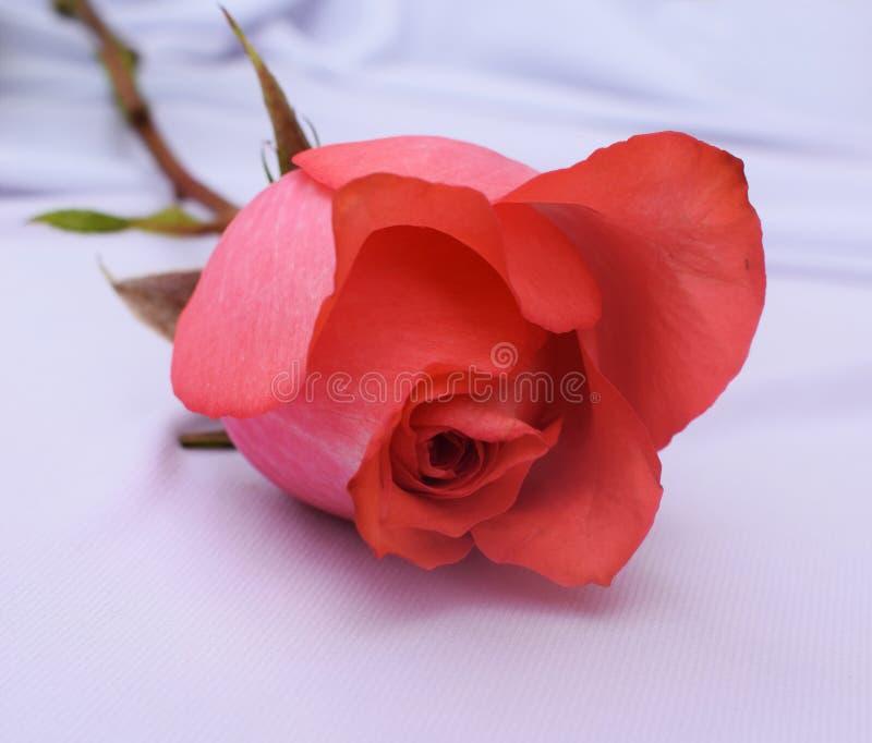 Закройте вверх по красивой предпосылке белизны розы пинка стоковые фотографии rf