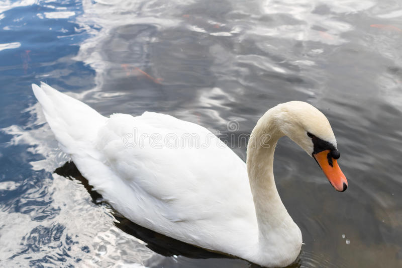 Закройте вверх по красивому белому заплыванию лебедя на воде стоковая фотография rf