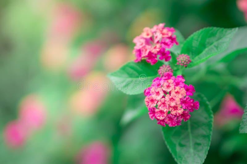 Закройте вверх по красивому фиолетовому цветку camara Lantana зацветая в саде стоковые фотографии rf