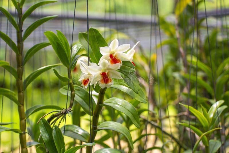 Закройте вверх по красивому цветку орхидеи в саде с естественным backgrou стоковая фотография rf