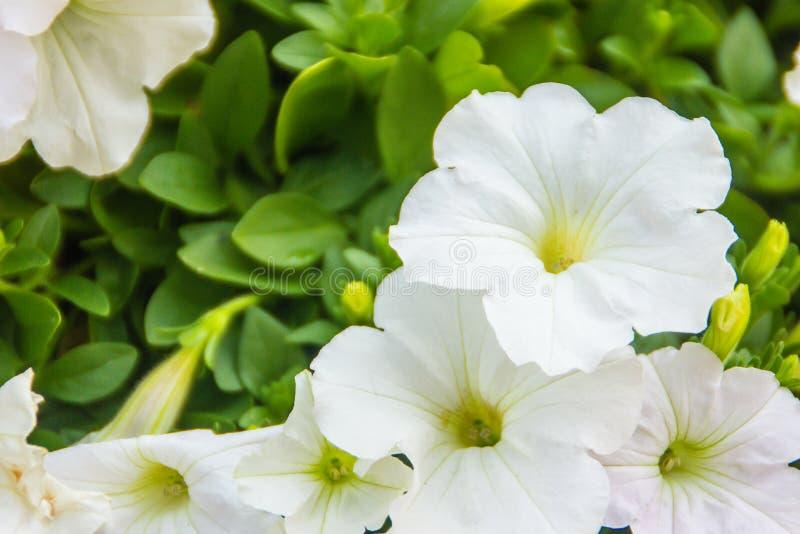 Закройте вверх по красивым белым цветкам петуньи с зеленой предпосылкой листьев и скопируйте космос для текста Петуньи одно из на стоковые изображения rf