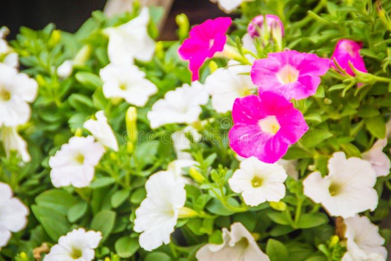 Закройте вверх по красивым розовым и белым цветкам петуньи с предпосылкой листьев зеленого цвета и скопируйте космос для текста П стоковое изображение