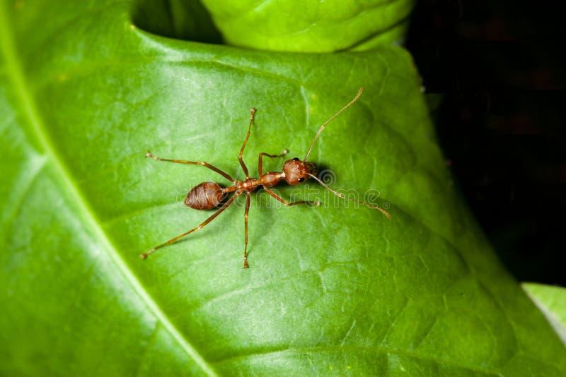 Закройте вверх по красному муравью на зеленых лист в природе стоковое фото rf