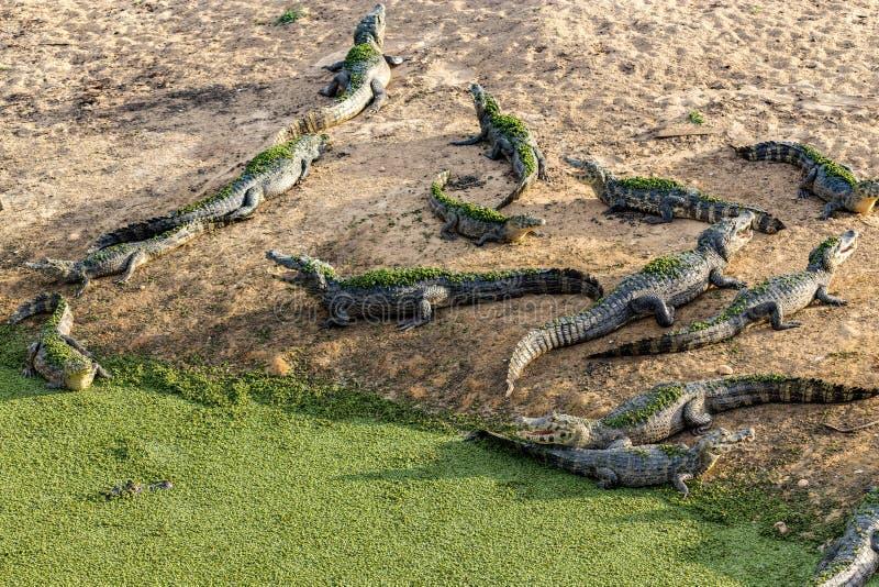 Закройте вверх по крокодилу с зубастым оскалом стоковые изображения