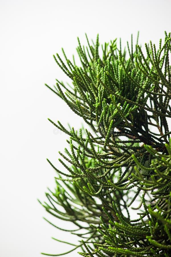Закройте вверх по лист сосны на белой предпосылке стоковые фотографии rf