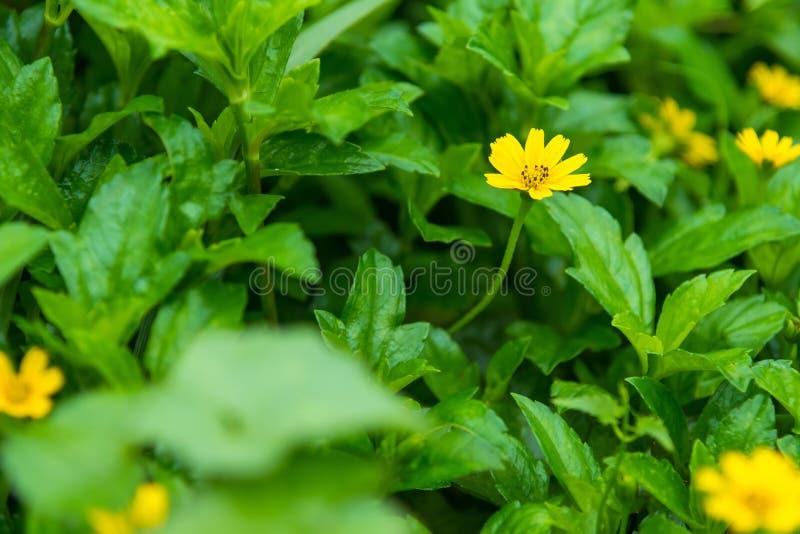 Закройте вверх по меньшей желтой маргаритке цветка звезды с зеленой предпосылкой сада стоковые изображения rf