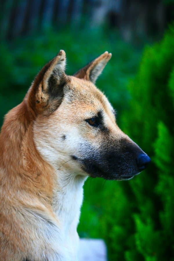 Закройте вверх по милой тайской собаке стоковая фотография rf