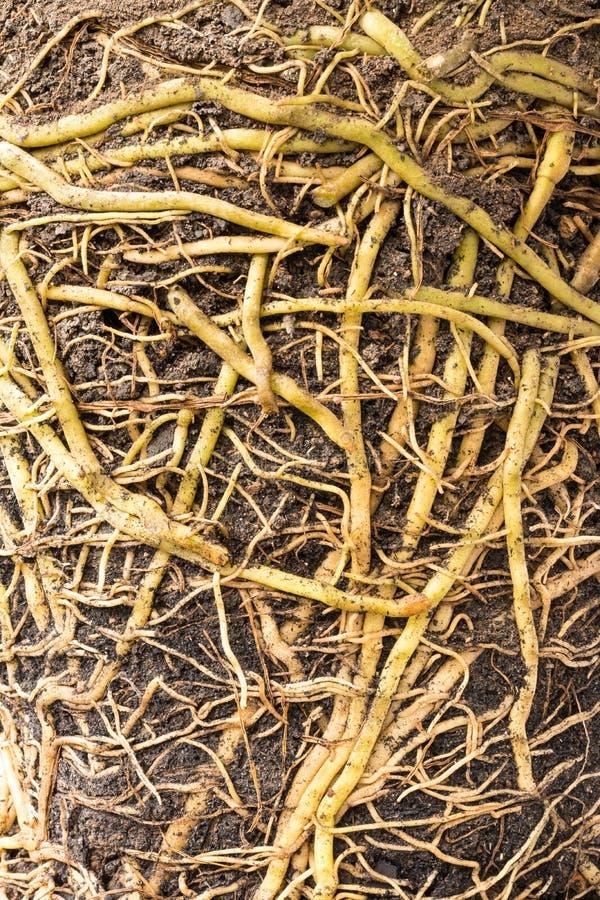 Закройте вверх по много корней в почве стоковое фото